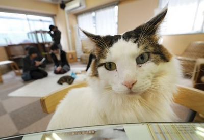 Japanese youths play with cats at a 'cat cafe' in Tokyo on February 23, 2012. Police in Japan who have for months been taunted by an anonymous hacker have found a digital memory card attached to an animal's collar after solving a set of emailed riddles, reports said Monday.